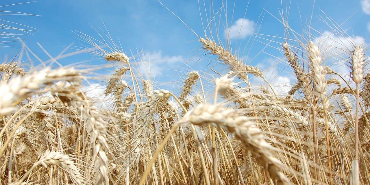 Know Your Wheat