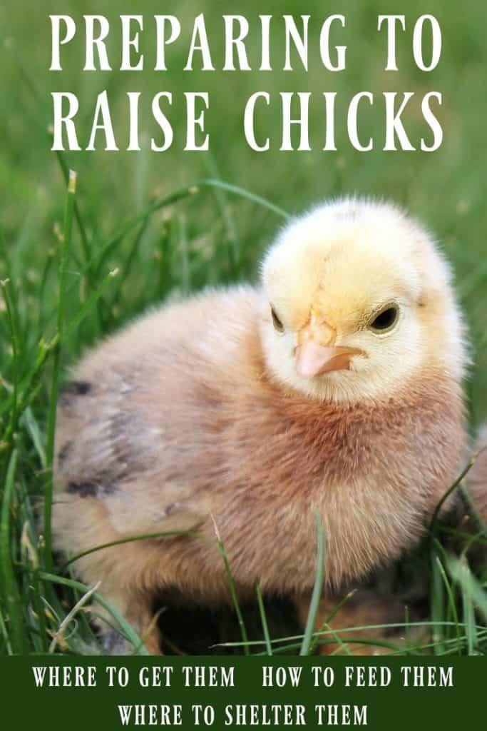 preparing to raise chicks